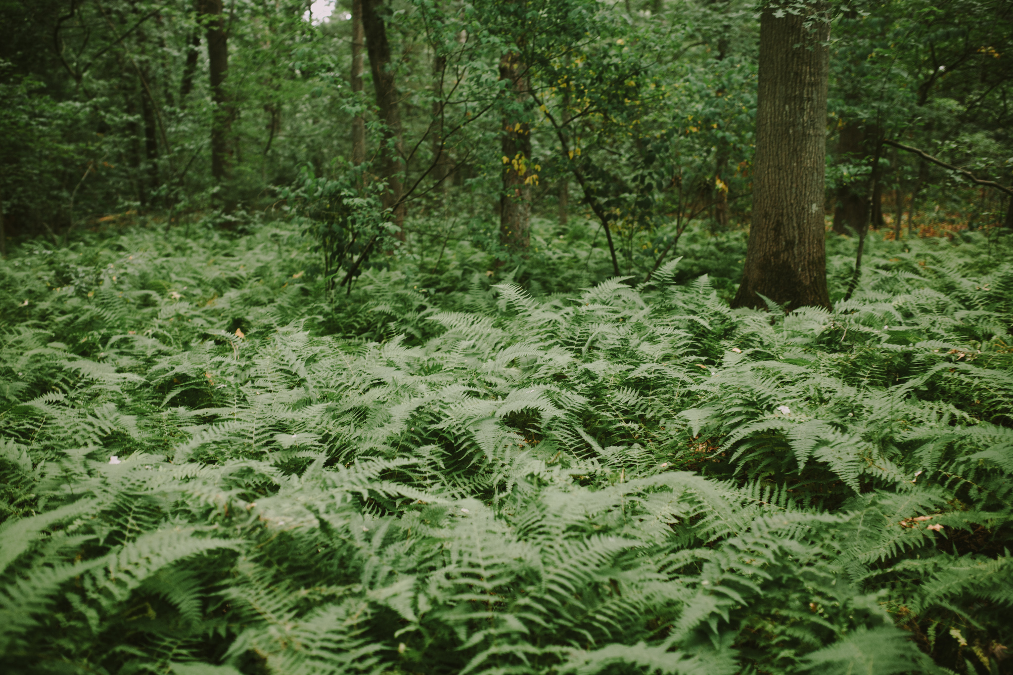 Mass Audubon Ferns